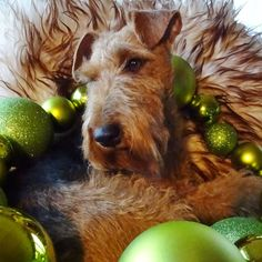 Welsh Terrier says Merry Christmas