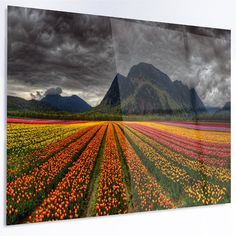 DesignArt 'Beautiful Colored Tulips Panorama' LED Photographic Print on Metal