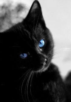 Blue Eyed Black Cat, Lovely