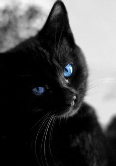 beautiful black cat with sapphire eyes
