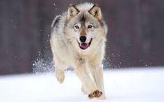 Bildergebnis für Wolf bild