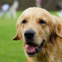 2014年 夏 チェリー * #ilovegolden_retrievers #pets_perfection #my_loving_pet #dogs_of_instagram #golden_retrieverlovers #pets_of_our_world #meowvswoof #bestwoof #petstagram #dog_features #dogsofinstagram #ilovemydog #instagramdogs #dogstagram #nature_cuties #FurrendsUpClose #goldens_ofinstagram #igclub_dogs #gloriousgoldens #instadog #goldenretriever #dogsofinstaworld #retrieversgram #welovegoldens #Excellent_Dogs #amazing_picturez_animals #FUNPETLOVECLUB #cutepetclub #bestfriends_dogs #west_do...