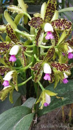 Orquídea - Jardim Botânico - Rio de Janeiro- Foto: Marília Vidigal Carneiro