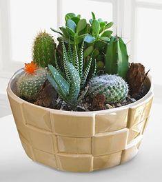 Indoor plant - Desert Daydreams Cactus Dish Garden- Shown