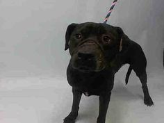 SUPER URGENT MANHATTAN JOSE –  JOSE – A1022687  (Alternate ID # A1057158)  ***RETURN 11/06/15 ***  ***DOH – HOLD  & LEGAL HOLD FOR POSSIBLE CRUELTY/NEGLECT 11/06/15***  MALE, BLACK, PIT BULL MIX, 1 yr, 6 mos SEIZED – ONHOLDHERE, HOLD FOR DOH-B Reason ATT PEOPLE Intake condition UNSPECIFIE Intake Date 11/06/2015, From NY 11373, DueOut Date 11/09/2015  http://nycdogs.urgentpodr.org/jose-a1057158/