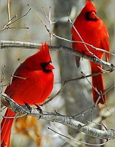 Red Cardinals.  Cardinaux Rouges.  ( Cardinalis cardinalis).