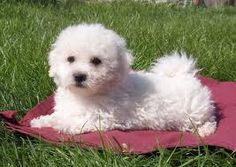 Bolognese Puppy Dog - Another possibility for future puppy