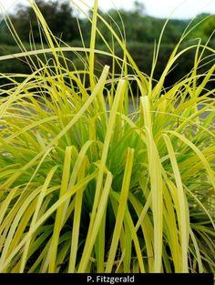 Carex oshimensis 'Everillo' PP 21,002 (Everillo Golden Perennial Sedge).   z5-9
