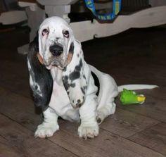 Bassett hound.♥ Like the coloring!