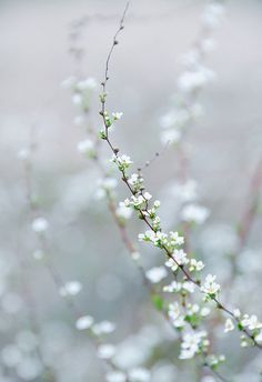 tiny white blossoms