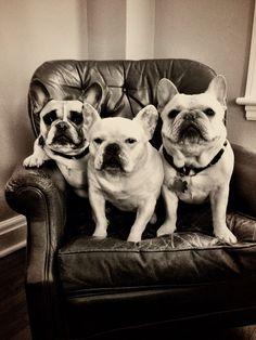 French Bulldog Intoxication! I want them ALL!