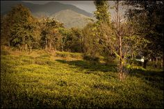 tea gardens of Bir, Himachal Pradesh, India…
