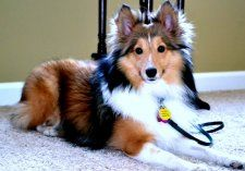 Indiana sheltie rescue available !