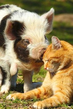 Friendship knows no boundaries! A cute pig and cat enjoy the sunshine.