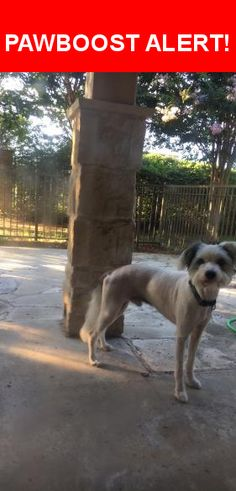 Is this your lost pet? Found in Round Rock, TX 78664. Please spread the word so we can find the owner!  Newly groomed with Steve Austin collar no tag   Near E Old Settlers Blvd & Sunrise Rd