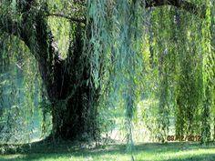 Weeping Willow Favorite (640x480)