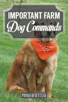 Important Farm Dog Commands Every Homesteader Should Know Have a farm dog in your homestead? If you're having some problems keeping him put, then these basic dog commands will do the trick! Start training your dog. Dog Commands, Homestead Farm, Farm Dogs, Future Farms, Mini Farm, Ranch Life, Down On The Farm, Hobby Farms, Small Farm