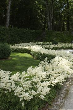 Astilbe lined drive. Edith Wharton's estate in Lenox, Massachusetts.