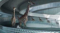 High Diving Giraffes