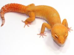 Don't tell Tarren, but this will be my next one.... sunglow leopard gecko.....shhhh....