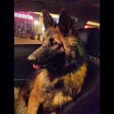 Found Dog German Shepherd in HUNTINGTON, NY - Lost My Doggie