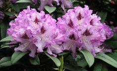 Rhododendron durch Ableger vermehren