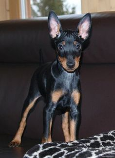 english-toy-terrier-black-tan-on-couch-photo.jpeg (1684×2308)
