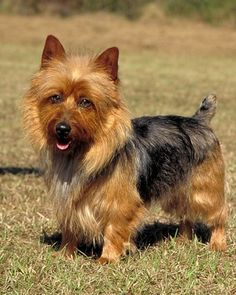"See the ""Australian Terrier"" in our  gallery"