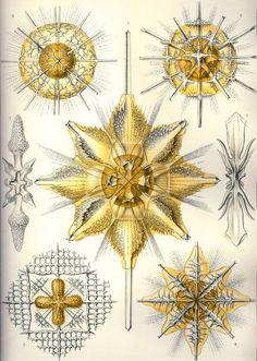 427px-Haeckel_Acanthometra.jpg (427×599)