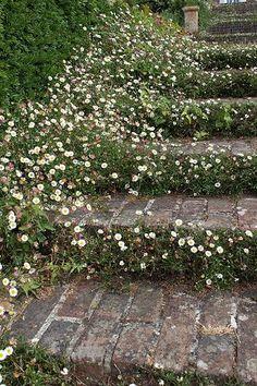 Mexican fleabane in brick steps - Garden Decor Pergola Garden, Garden Shrubs, Shade Garden, Garden Landscaping, Backyard, Back Gardens, Small Gardens, Outdoor Gardens, Indoor Gardening