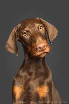 The Doberman Pinscher is among the most popular breed of dogs in the world. Known for its intelligence and loyalty, the Pinscher is both a police- favorite bree Vizsla, Weimaraner, Rottweiler, I Love Dogs, Cute Dogs, Black And Tan Terrier, Pitbull, Doberman Pinscher Dog, Doberman Puppies