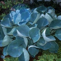 Hosta 'Abiqua Drinking Gourd' | Hostas Direct