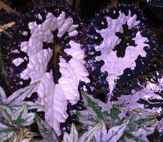 Rex Begonie - Pflanze für den schattigen Standort.