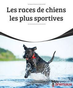 Les races de chiens les plus sportives   Vous aimez le sport et les activités en plein air ? Dans ce cas, il vous faudra surement un compagnon actif comme vous ! Voici les races de chiens les plus sportives que l'on connaisse
