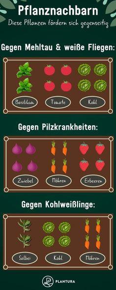 Pflanznachbarn: Diese Pflanzen fördern sich gegenseitig - Beispiel 1: Einige Pflanzen haben wachstumsfördernde oder schädlingsvertreibende Wirkungen. Plantura zeigt Euch, welche Pflanzen Ihr im Hochbeet unbedingt nebeneinander pflanzen solltet. #Hochbeet #Pflanznachbarn