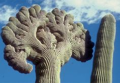 giant saguaro may be 200 years old