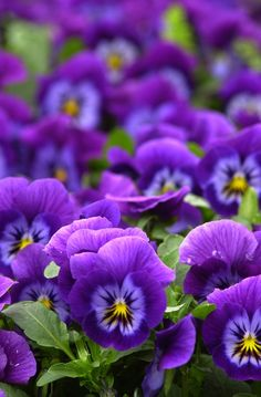 looooooooove the purple color! pansies looove the cooler weather of the spring. Then the dig them up and replant the Same plants in the Fall and they last for many more weeks till Winter.