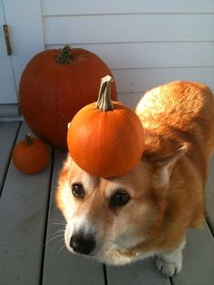 I brought you a pumpkin.....do I get a treat?