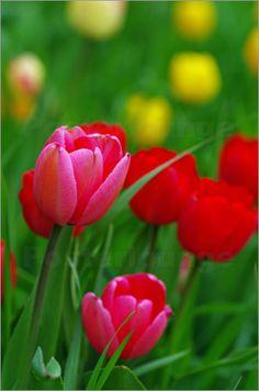 Bunte Tulpen Wiese