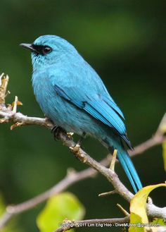 Verditer Flycatcher: SE Asia/ IN subcontinent | photo by DiveMUster