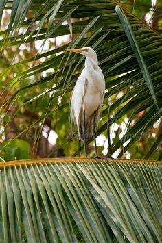 White egret on coconut tree posing ...  Heron, alba, animal, avian, beak, beautiful, beauty, bird, body, coconut, egret, elegant, environment, eye, feather, great, green, head, leg, long, majestic, migratory, nature, neck, outdoor, palm, perching, shade, shadow, stand, stone, stork, tree, tropic, vegetation, waterwhite, white, wild, wilderness, wildlife, wing, yellow