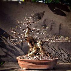 ficus microcarpa can become a good bonsai
