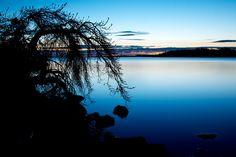 Seabuckthorn at blue hour  (Havtorn, Hippophaë rhamnoides) by Jens Söderblom, via Flickr