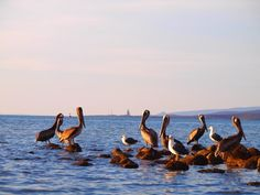 Seabirds (Pelicans & Seagulls).   Picture from https://www.facebook.com/pages/Isla-Espiritu-Santo/181039908629581