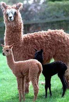 Maman et sa progéniture. Baby Alpaca, Cute Alpaca, Farm Animals, Animals And Pets, Funny Animals, Cute Animals, Alpacas, Amazing Animals, Animals Beautiful