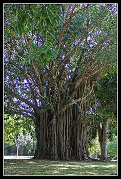 Mauritius - giant tree in the Pamplemousses botanical garden.