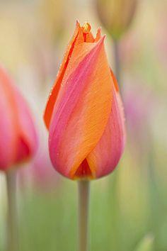 A Twist of Sherbet...tulip...