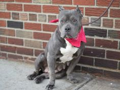 TO BE DESTROYED - 02/16/15 Brooklyn Center -P My name is DIAMYN. My Animal ID # is A1027720. I am a female gray and white american staff mix. The shelter thinks I am about 3 YEARS old. I came in the shelter as a OWNER SUR on 02/11/2015 from NY 11434, owner surrender reason stated was PET HEALTH.