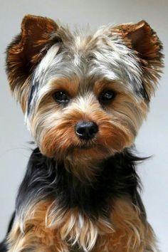 Le Yorkshire Terrier Est Une Race De Chien Petite Taille Appartement Au Groupe Des Terriers