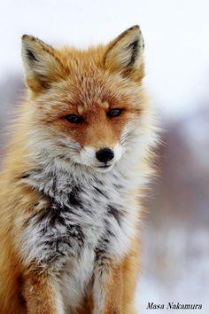 Hokkaido kitsune   Thx @Judy Seaman  [CaliWrites]   :-) #fox #red_fox #Vulpes_vulpes